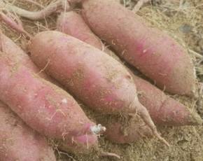 꿀고구마 상 10킬로 영주 농가 직접배송! [하늘기둥농장]