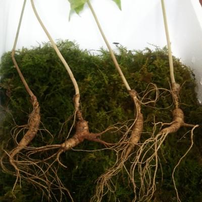 [선향농원] 산양산삼(산양삼) 15년산 4뿌리