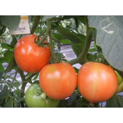 [초록농산] 싱싱완숙토마토5kg(35~45과내)