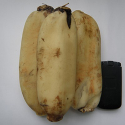 [경산키토산 연근농장] 2019년 무농약 햇연근 (씻은연근 3kg)