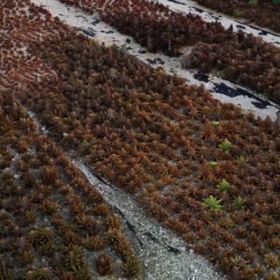 [영천와송농장]노지토종생와송5kg/생와송즙/와송가루/와송효소/와송모종/건조와송