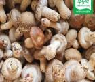 [착한영광버섯마을]태조산송고버섯(알뜰형) 1kg
