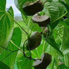 [선비가] 무농약인증 열매마(10kg 1박스)