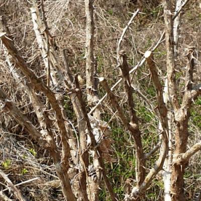 [선비가농장] 무농약인증 엄나무 가지 나무(5KG)