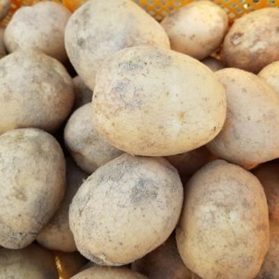 [영주장터농원] 수미감자( 계란 크기이상)  5kg