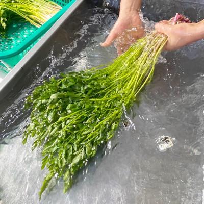 [엘푸드] 무농약 한재미나리 (봉) 생야채로 먹는 청도미나리