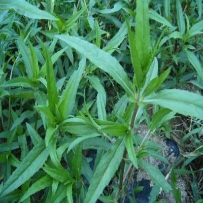 유기농 한련초 건초 500g