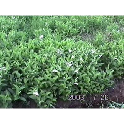 [한빛농장] [유기농산물] 삼백초 100g