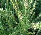 유기농 야관문씨앗 식용 100g