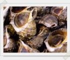 [바다나라] 당일잡은 살아있는 자연산 영덕 돌고동 小2kg(4-5인분)