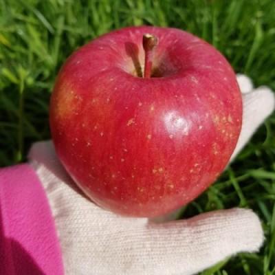 [터골댁] 부사 사과 5.5kg 21~24과