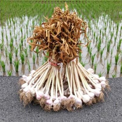 [송이네농장]2019년 의성 토종 씨마늘 종자마늘 3kg