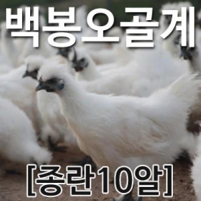 [농부야] 백봉 오골계 종란(부화용)10알[[유정란 계란]