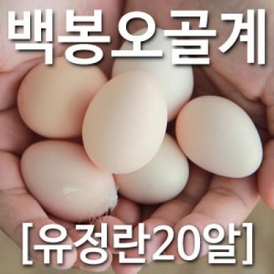 [농부야] 백봉 오골계 방사 유정란20알[유정란 계란]