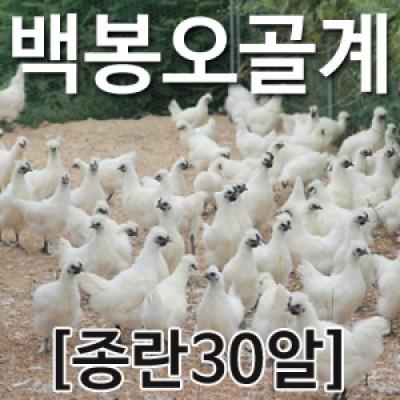 [농부야] 백봉 오골계 종란(부화용)30알[유정란 계란]