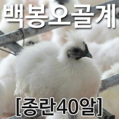 [농부야] 백봉 오골계 종란(부화용)40알