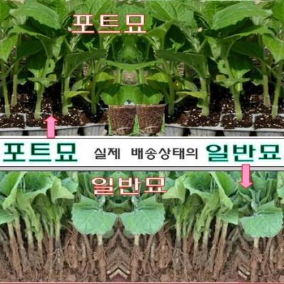 야콘모종 예약판매