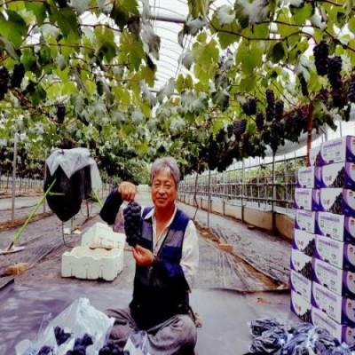 [포도덩굴농원] 씨없는 거봉포도 3kg