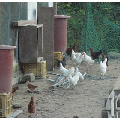 [삼봉산양지자연농원] [유기농 자연 방사] 백 토종닭 (수)