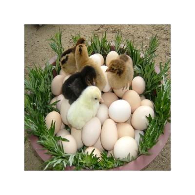 [삼봉산 양지 자연농원] [ 자연 방사]  토종닭 유정란60알(1박스) 계란